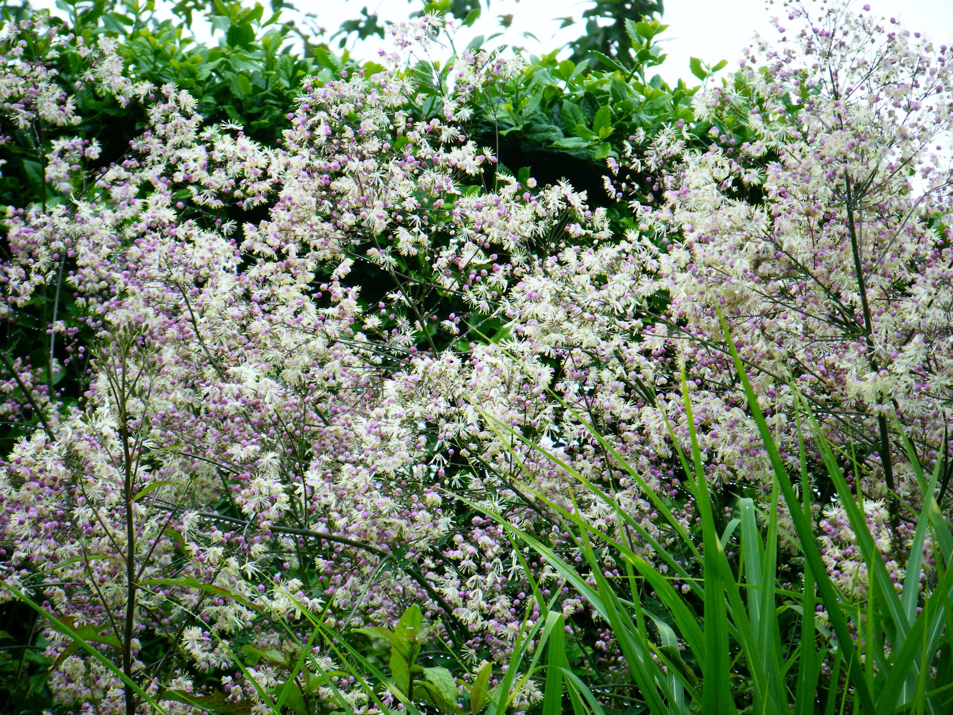 Rhs rosemoor for Thalictrum rochebrunianum rhs